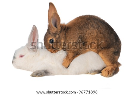 Rabbits are engaged  sex on a white background