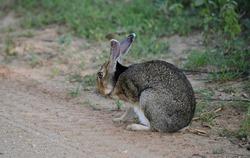 Rabbits in Yala National park in Sri lanka