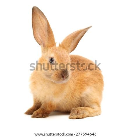 rabbits isolated on white background  #277594646