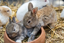 Rabbits sleep. Two cute brown rabbits are sleeping comfortably in a clay pot of rabbits to eat and empty on their cage straws.
