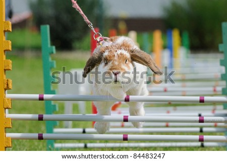 Rabbits with the jump competition rabbit-hop  the rabbit hop is the new sport for kids they learn to work patiently with animals - stock photo