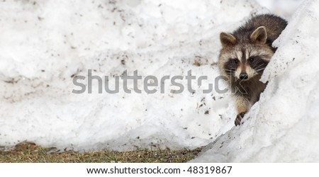 Raccoon. A wild baby raccoon peeks out from behind a snow bank.