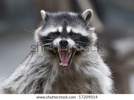 raccoon and yawn