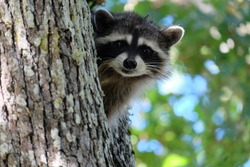 Raccoon at Fort Rodd Hill National Historic Site
