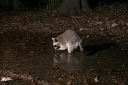 Raccoon at night washes food in a puddle. Acadiana Park Campground, Louisiana, US