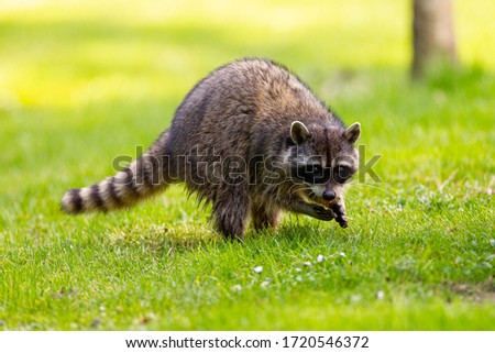 Raccoon at Stanley Park, Vancouver, British Columbia Stock photo ©