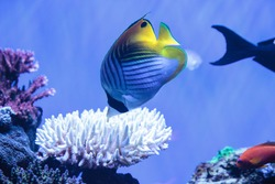 Raccoon butterflyfish Chaetodon lunula is found in the Indo-Pacific region.