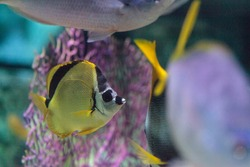 Raccoon butterflyfish Chaetodon lunula is found on coral reefs of the Indo-Pacific.