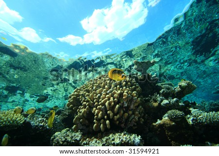 Raccoon Butterflyfish on a Reef with clouds seen from underwater