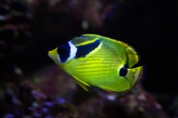 Raccoon butterflyfish, raccoon coralfish, redstriped butterflyfish (Chaetodon lunula).
