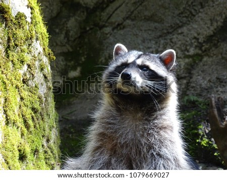 Raccoon Closeup picture