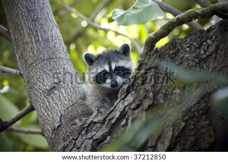 Raccoon Cub