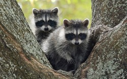 Raccoon cub pair