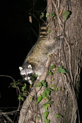 Raccoon descends down the tree. Acadiana Park Campground, Louisiana, US