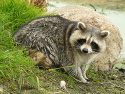 Raccoon dog (Nyctereutes procyonoides) captured in Belarus