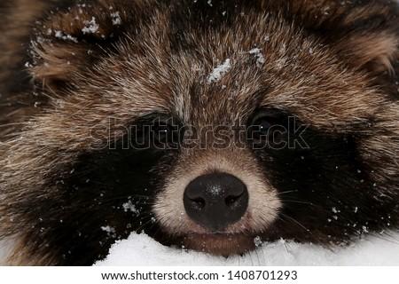 raccoon dog.  portrait of a raccoon dog