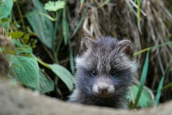 Raccoon dog pup in forest. Raccoon dog kit in forest. Young raccoon dog.