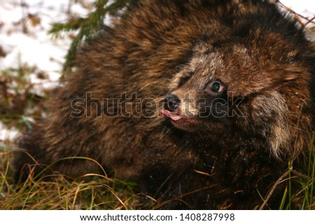 Raccoon dog. wild animal. wild animal portrait