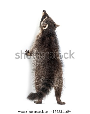 Raccoon getting to know on hind legs, looking up, isolated Stock photo ©