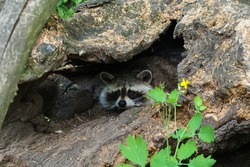 raccoon hiding in a hole of old tree log