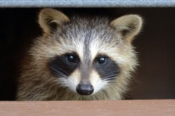 Raccoon hiding under stairs of deck