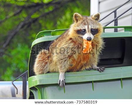 Raccoon in a garbage bin