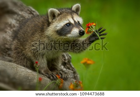 Raccoon in Minnesota under controlled conditions Agnieszka Bacal. Stock photo ©