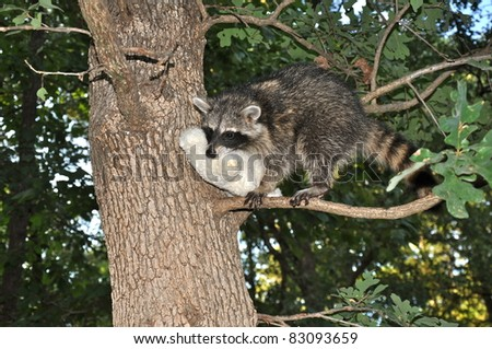 Raccoon in Tree with Dog Toy