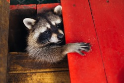 raccoon is a genus of carnivorous mammals of the raccoon family. Funny beast in the park, in a cage. Raccoon in the zoo.