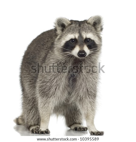 raccoon (9 months) - Procyon lotor in front of a white background