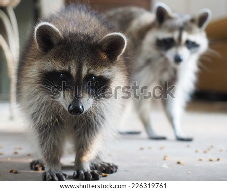 Raccoon Mother and Child
