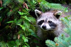 Raccoon peaking through the trees