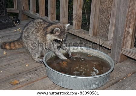 Raccoon Playing in Water