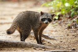 Raccoon - Procyon lotor also common raccoon, North American raccoon, northern raccoon, or coon, is a medium-sized mammal native to North America in the rain season in Costa Rica.