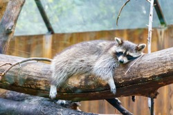 Raccoon (Procyon lotor), also known as the common raccoon, North American raccoon, northern raccoon, or coon, is a medium-sized mammal native to North America