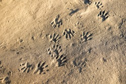 Raccoon (Procyon lotor) footprints in sand. These animal tracks look like hand prints.