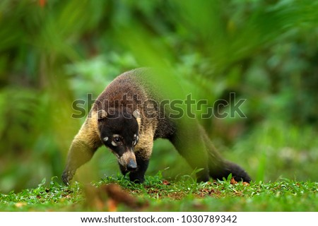 Shutterstock Raccoon, Procyon lotor, on the tree in National Park Manuel Antonio, Costa Rica. Animal in the forest. Animal from tropic Costa Rica. Raccoon with long tail. Mammal in the nature habitat.