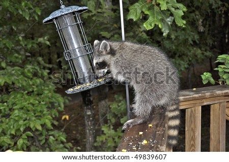 Raccoon raiding a bird feeder