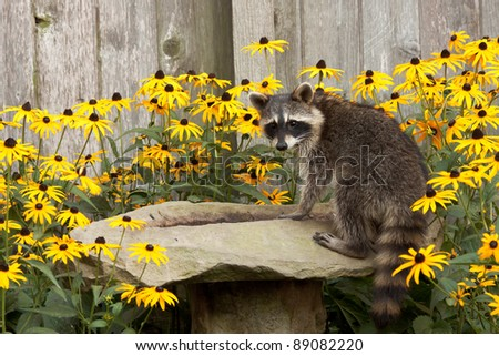 raccoon sips water from a sandstone bird bath. birdbath is surrounded by black eyed susan. raccoon's eyes focus back  as water drips from its mouth