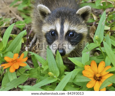Raccoon Sniffing Flowers