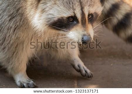 raccoon snout close up