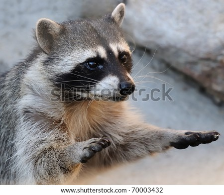 raccoon with hands up