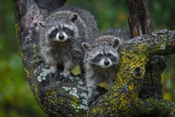 Raccoons (Procyon lotor) Stare Out Out From Tree Autumn - captive animals