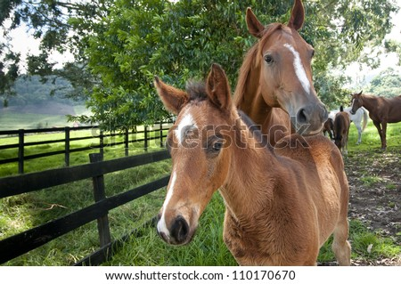 Race Horses in grassy pasture, Cerro Punta, Chiriqui province, Panama, Central America - stock photo