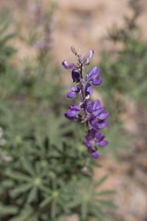 Raceme inflorescence of purple blooming from Arizona Lupine, Lupinus Arizonicus, Fabaceae, native herbaceous hermaphroditic annual in Joshua Tree National Park, Southern Mojave Desert, Springtime.