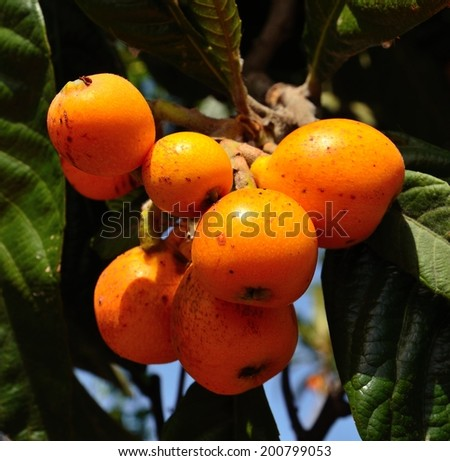 Raceme of ripe loquats hanging from the tree branch