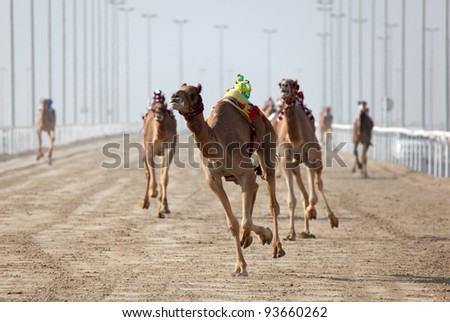 Racing camels with a robot jockey, Dubai, United Arab Emirates
