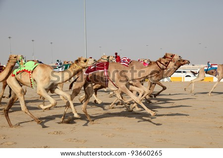 Racing camels with a robot jockeys, Dubai, United Arab Emirates