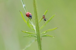 Racing insects. Ant chase a seven-point ladybird or ladybug on grass with blurred green background. Summer meadow.