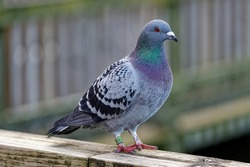 Racing Pigeon (Columba livia domestica) Adult,stray ,perched on fence.